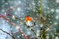Robin (Erithacus rubecula) on branch in Hedgerow during snow flurry