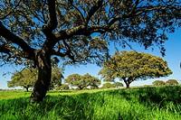 meadow of oaks, Santarem district, Medio Tejo, region center, Portugal, Europe.