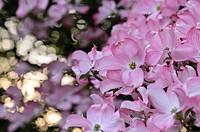 Eastern flowering dogwood Cornus florida ´Rubra´