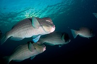 School of Bumphead Parrotfish (Bulbometopon muricatum) at USAT Liberty ship (US Army transport ship torpedoed by Japanese in WWII) at Tulamben at Sera...