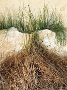 Abstract. Grass inside a wall crack. Ebro River Delta Natural Park, Tarragona province, Catalonia, Spain.