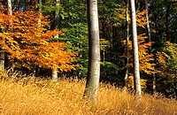 The autumn colours of the beech forest in Male Karpaty, Slovakia.