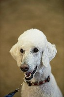 A smiling poodle is all eyes for his owner.