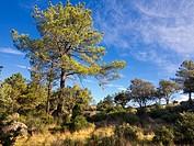 Concejo pinewood in Cadalso de los Vidrios. Madrid. Spain.