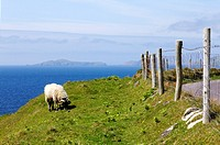 Sheep on the Dingle Peninsula in County Kerry, Ireland.
