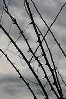 thorn bush silhouette against dark sky