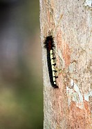 A Centipede climbing a tree in Andasibe forest in Madagascar.