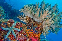 Coral Reef, Hard Coral, Lembeh,Blue Sea Star, Unckia laaevigata, Starfish, North Sulawesi, Indonesia, Asia.