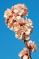 European honey bee (Apis mellifera) collecting nectar on Apricot flowers (Prunus armeniaca), variety Bhart. Location: Male Karpaty, Slovakia.