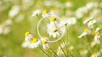 chamomille,medicinal plant