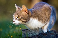 Young tomcat lurking in the garden.