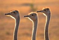 three heads of female ostriches in Masai Mara, Kenia