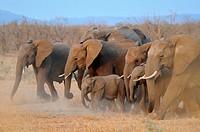 African elephants, (Loxodonta africana), running, Kruger National Park, South Africa, Africa.