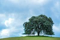 Majestic oak trees amidst California greenery.