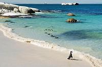 African Penguins (Jackass Penguins) near shoreline, Boulder Beach National Park, Simonstown, South Africa.