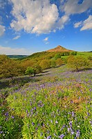 Bluebells, Newton Wood, Roseberry Topping, North Yorkshire, North York Moors National Park, England, UK.
