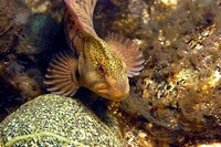 Male freshwater blenny in the river Rizzanese in the south of Corsica. Salaria fluviatilis.