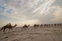 Camel caravans carrying salt through the desert in the Danakil Depression, Ethiopia.