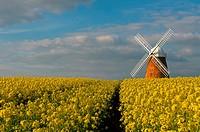 The Halnaker Windmill amonst Rapeseed- Brassica napus,Halnaker, Chichester, West Sussex, England, Uk.