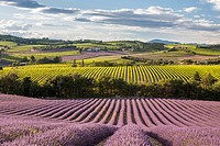 Lavander fields and vineyards in the Drôme Provençale, Drôme, France.