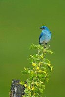 Mountain Bluebird (Sialia currucoides), male.