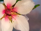 Almond flower, detail. Santa Barbara village countryside. Montsia Region, Tarragona Province, Catalonia, Spain.