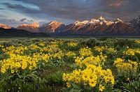 Sunrise over the Teton Range from wildflower meadows of Antelope Flats, Grand Teton National Park Wyoming.