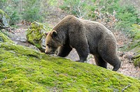 Close-up of a European brown bear (Ursus arctos arctos) in a forest in spring.