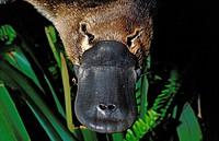 Platypus, ornithorhynchus anatinus, Close up of Beak, Australia.