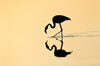 Silhouette of a Greater Flamingo (Phoenicopterus roseus) foraging in the water.