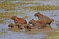 Wattled Jacana and Capybara, hydrochoerus hydrochaeris, standing in Swamp, Los Lianos in Venezuela.