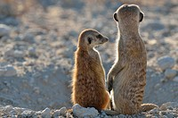 Two meerkats (Suricata suricatta), adult and young, sitting at the burrow entrance, Kgalagadi Transfrontier Park, Northern Cape, South Africa, Africa.