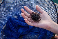 A child holds a sea urchin, Echinoidea. Astros, Arcadia, Peloponnese, Greece.