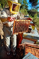 Beekeeper taking care on his beehive and holding a grid with bees, Dolceacqua, Italy, Europe.