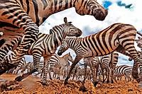 A secretly hidden camera in the middle of a migrating Zebra herd, Masai Mara National Reserve, Kenya