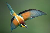 Bee-eater (Merops apiaster), flying, Bulgaria.