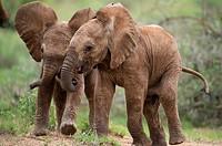 African elephant (Loxodonta africana), cubs running, Samburu National Reserve, Kenya.