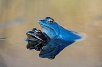 Moor frogs (Rana arvalis) mating, Bavaria, Germany.