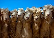 Goats, Opal Village Market, Xinjiang Uyghur Autonomous Region, China