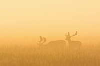 Fallow Deers (Cervus dama) on misty morning at sunrise, Hesse, Germany, Europe.