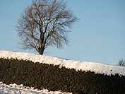 hedge and tree in snow,near Matlock,Derbyshire,Britain (December 2014).