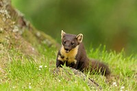 Pine Marten (Martes martes) standing at base of pine tree.
