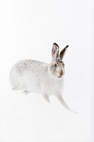 Mountain Hare (Lepus timidus) in white winter coat standing on snow.