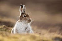 Mountain Hare (Lepus timidus) in spring moult