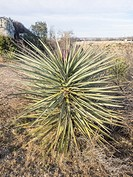 Banana yucca (Yucca baccata) is a common species of yucca native to the deserts of the southwestern United States and northwestern Mexico.
