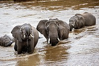 African Elephants crossing the river.