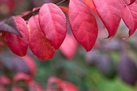 Cranberry and purple leaves in autumn, Frelinghuysen Arboretum, Morristown, New Jersey, NJ, USA.