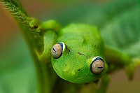 Hypsiboas cinerascens. Tree frog. French Guiana.