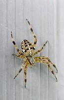 Garden spider, Sherbrooke, Quebec, Canada.