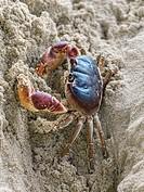 Gecarcinid land crab, Samana, Dominican Republic.